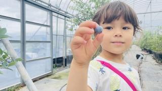blueberrynomura